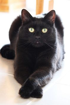 Beautiful black cat, looks just like my kitty Red...same yellow eyes