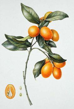 Kumquat, 1996 by Margaret Ann Eden - Magnolia Box