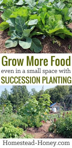 Garden Planning If you have a small garden space then you'll love these 7 ways to grow more food in less space with succession planting. Learn how to maximize food production and grow more food than you thought possible! Small Space Gardening, Garden Spaces, Small Gardens, Growing Gardens, Growing Tomatoes In Containers, Growing Vegetables, Gardening Vegetables, Succession Planting, Companion Planting