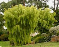 acacia lime magik - little tree