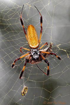 Golden Silk Orbweaver (Nephila clavipes) by Paul. Pet Spider, Spider Webs, Spider Dance, Large Moth, Bugs, Shaun Tan, Vivarium, Biology, Animals