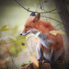 Red fox (vulpes vulpes) in a forest. Finland  #photoarena_nature #splendid_animals #feather_perfection #WildGeography #GlobalDaily #bella_shots #elegantanimals #animalelite #exklusive_nature #shotaward #wonderfulworld #amazing_picturez #igscwildlife #animalsmood #exelent_nature #exclusive_animals #planet_of_animals #perfection_nature #pro_nature #greatshots #greatphotos #masters #master_shots #magic_shots #nature_of_our_world #igscwildlife #IgAnimal_Snaps #igcutest_animals #igscselect…
