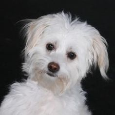 'Scout' is an adoptable Maltese Dog in Edgerton, WI. Hi there, friendly human!  My name is 'Scout.'  And I'm an enthusiastic, bubbly, bouincy, tail waggin' little 9-month old puppy! Aren't I the cutes...