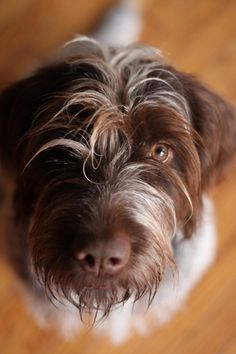 Wirehaired pointing griffon, one of these days.