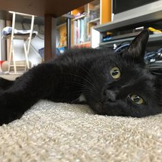 冷感カーペットが心地よい😪 * * #愛猫 #猫 #猫部 #にゃんすたぐらむ #保護猫 #クロネコ #くろねこ #にゃんこ #黒猫 #blackcats #whitecats #instagramcats #cat #cats #catsagram #catstagram #catlovers #animal  #黒猫部 #黒猫同盟 #癒しねこ #ねこ部 #みんねこ #ねこら部 #アズキナ