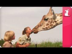Bindi & Robert Irwin feature - Giraffes (Rosie and Forest) - Growing Up ...