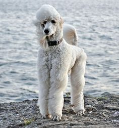 """#standardpoodleStandard Poodles- exceptionally smart, excels in obedience training, """"hypoallergenic"""", beauty requires professional grooming and daily exercise"""