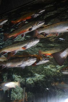 Michigan's State Fish, the brook trout. | Meet Your State's Most Influential Animal Representative