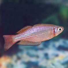 australian rainbow fish | Australian Rainbow, Rainbowfish for Freshwater Aquariums ...