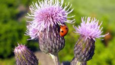 Ladybug on Thistle