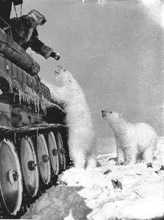 Feeding polar bears from a tank. circa 1950.