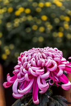Japanese Chrysanthemum 日本菊 | Nishi Honganji 西本願寺 Kyoto City,… | Flickr. So beautiful. Art. Pretty.