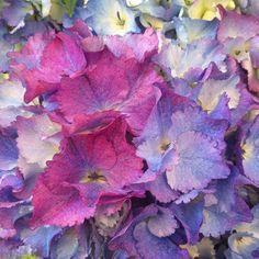 Hydrangea-Flowerona