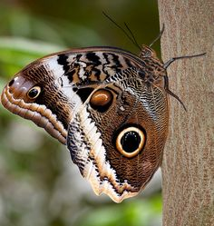 ~~Owl butterfly by Supervliegzus~~