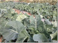 urban desert gardening | jordan | cabbage
