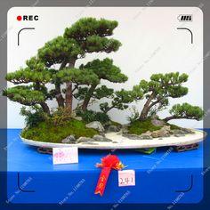 20pcs/bag Japanese Black Pine bonsai Tree Seeds Potted Plants Balcony Seating,bonsai plant home garden