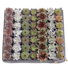 Selection of 49 rosette shaped succulent plugs chosen for color, texture, and variety. Contains 7 rows of 7 with each row containing a different variety. Typically includes: Echeveria, Sempervivum, more. Succulent Potting Mix, Succulent Care, Where To Buy Succulents, Pet Safe, Drought Tolerant, Echeveria, Rosettes, Container Gardening, Color Change