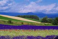 Lavender field in Furano, Hokkaido Furano, Lavender Fields, Outdoor Activities, Natural Beauty, Golf Courses, Japan, Island, Places, Flowers