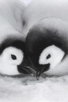 Casal de pinguim, sinônimo de felicidade e ♥.