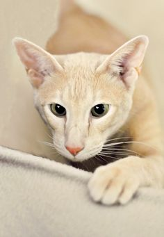 """[Oriental Shorthair * * """" Yoo interrupts me playin' to asks me dat? Az far az me be concerned, humans haz nots come up wif a belief worf believin. Pretty Cats, Beautiful Cats, Animals Beautiful, Cute Animals, I Love Cats, Crazy Cats, Cool Cats, Siamese Cats, Cats And Kittens"""