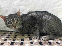 "TO BE DESTROYED 3/26/14 ** POOR MILO WAS DUMPED FOR ""TOO MANY PETS"" - NOW SCHEDULED TO DIE!!!*** Manhattan Center  My name is MILO. My Animal ID # is A0994342. I am a female gray tabby and black domestic sh. The shelter thinks I am about 3 YEARS old.  I came in the shelter as a OWNER SUR on 03/19/2014 from NY 10458, owner surrender reason stated was TOO MANY P. https://www.facebook.com/PetsOnDeathRow/photos/a.576546742357162.1073741827.155925874419253/767247399953761/?type=1&relevant_count=1"