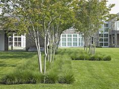 crepe myrtles sprouting from lariope
