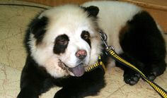 Ladies: we present to you the #panda #dog! See other interesting #pet grooming trends.