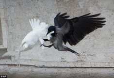 Crow fought the wings of a dove: While speaking at the window beforehand, Francis had appe...