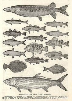 a classic scientific illustration of fish from an vintage e-book. illustration obtain Science Illustration, Botanical Illustration, Nautique Vintage, Scientific Drawing, Fish Drawings, Fish Print, Fish Design, Vintage Fishing, Antique Books
