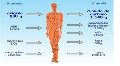 """¿Qué es el metabolismo? El termino metabolismo significa literalmente """"cambio"""". Se refiere a todas las transformaciones químicas y energéticas que se producen en el organismo, incluídas las que convierten los alimentos ingeridos en energía."""