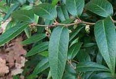 druifheide - Leucothoe 'Zeblid' - Groen van bij ons - Bloemen en planten