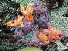Fascinating starfish on the #OregonCoast! http://oregonbeachvacations.com/