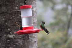 Los bebederos tienen una mezcla de agua con azúcar y saborizantes como vainilla que los atrae. Por su cercanía es ideal para los observadores de aves.