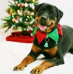 Rottweiler wearing his Christmas collar