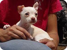 Lathrop, CA - Chihuahua Mix. Meet Layla, a puppy for adoption. http://www.adoptapet.com/pet/15579502-lathrop-california-chihuahua-mix