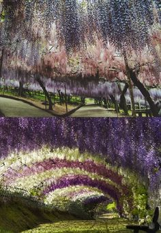 wisteria tunnel Japan