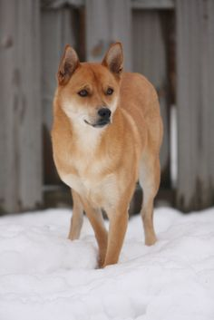 """Carolina Dog from """"10 Dog Breeds You Didn't Know Existed"""""""
