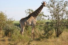 Safari - giraffa