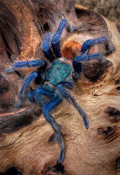 GREEN BOTTLE BLUE TARANTULAChromatopelma cyanopubscens©StrictlyExotics.com The Greenbottle Blue Tarantula is a native of Venezuela and has some of the most dramatic coloring of any spider species. Adult greenbottles have metallic blue legs, a blue-green carapace and a vibrant orange abdomen. These tarantulas live in webbed burrows under bushes and tree roots in desert areas of northern Venezuela, near Paraguana.  The ...
