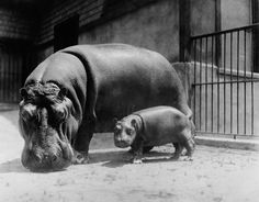 Adult and Baby Hippopotamus