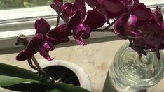 Dokonce i školák zná výhody a blahodárné účinky česneku pro lidské tělo. Ale ne všichni majitelé epifytických orchidejí vědí, že tato cibulovitá rostlina může mít velmi pozitivní vliv na růst jejich zelených krásek. Zejména česnek totiž pomáhá stimulovat zdravé kvetení phalaenopsis, čili orchidejí. Abychom tohoto efektu dosáhli, doporučuje náš redakční …