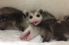 Baby Opossums!! Animals And Pets, Funny Animals, Cute Animals, Australian Possum, Baby Possum, Opossum, Beautiful Creatures, Mammals, Animal Pictures