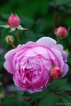 'Alan Titchmarsh' * - syn. 'Huntington Rose' - Austin (2007). Dubbele bolvormige dieproze bloemen (8cm), donkerder in het centrum dan aan de randen. 'Oude'-rozengeur. Zeer sterk en gezond. 120cm x 90cm.