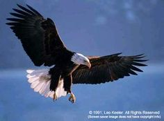 soaring on eagles wings Screensaver Images, Bald Eagle Pictures, West Coast Canada, Eagle Wings, Apex Predator, Corinthian, Birds Of Prey, Bird Feathers, Amazing Nature