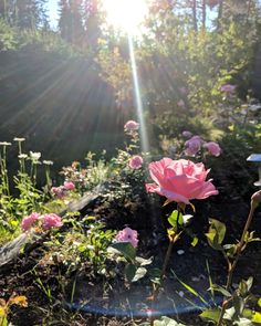 Rose garden Rose, Garden, Plants, Pictures, Pink, Garten, Lawn And Garden, Gardens, Plant