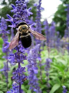 Bee in a Lavender Field