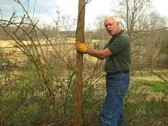 how to pillar a climbing rose, video tutorial by Paul Zimmerman. (He has many other great rose growing videos!)