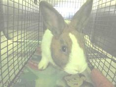 COOKIES - URGENT - located at CITY OF LOS ANGELES SOUTH LA ANIMAL SHELTER in Los Angeles, CA - Young Neutered Male American Rabbit