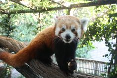 A red panda chows down at Scovill Zoo in Decatur, IL
