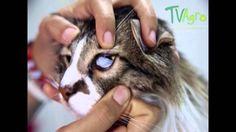 Síntomas de la Hemobartonelosis felina - TvAgro por Juan Gonzalo Angel